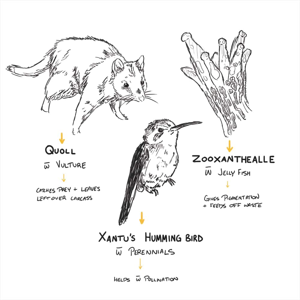 Sketches of a quoll, Xantu's hummingbird, and zooxanthellae pointing to each organism's respective pair, a vulture, a perennial, and a jellyfish